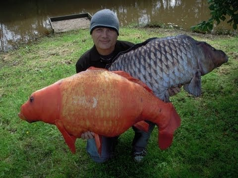 August 2012 carp fishing cudmore show koi hodgson for Keeping koi carp