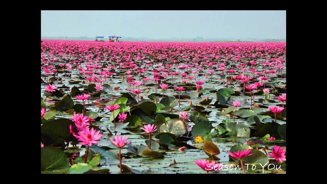 Lotus Flowers Meaninglotus Flower Meaning Flower Meaning Things