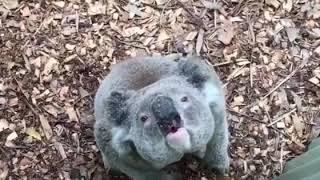 WHAT A KOALA BEAR SOUNDS LIKE....