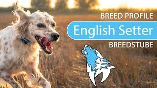 English Setter Breed, Temperament & Training