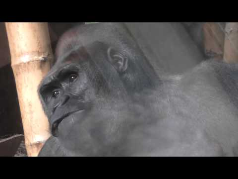 Lincoln Park Zoo. Gorilla is thinking about life