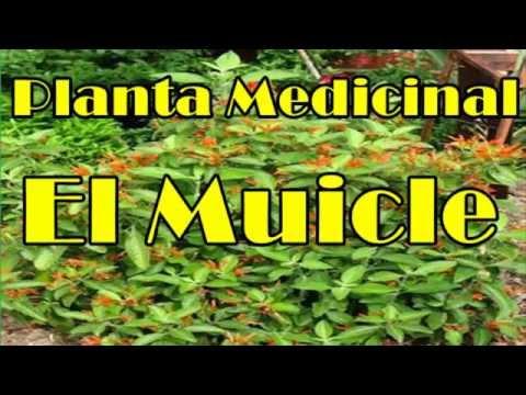 Muicle, Propiedades Del Muicle, Muicle Planta Medicinal