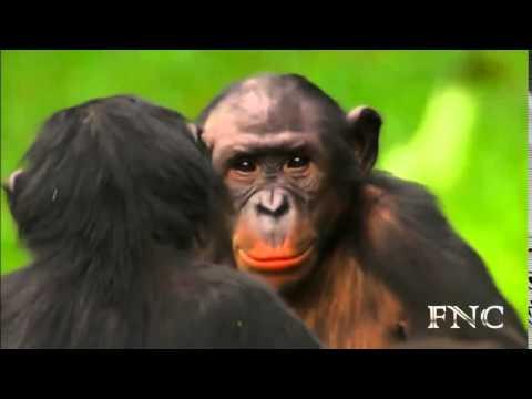 Thế Giới Động Vật Hoang Dã  Mùa Giao Phối Của Loài Khỉ