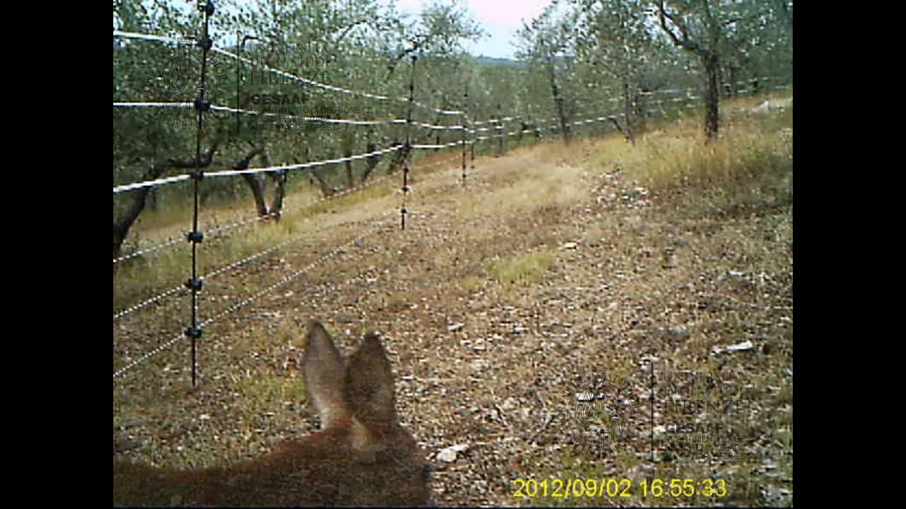 Schema Recinto Elettrico Per Cinghiali : Video come il capriolo attraversa i fili di un recinto
