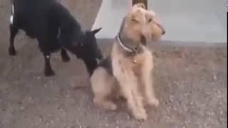 Как надо реагировать на козлов )