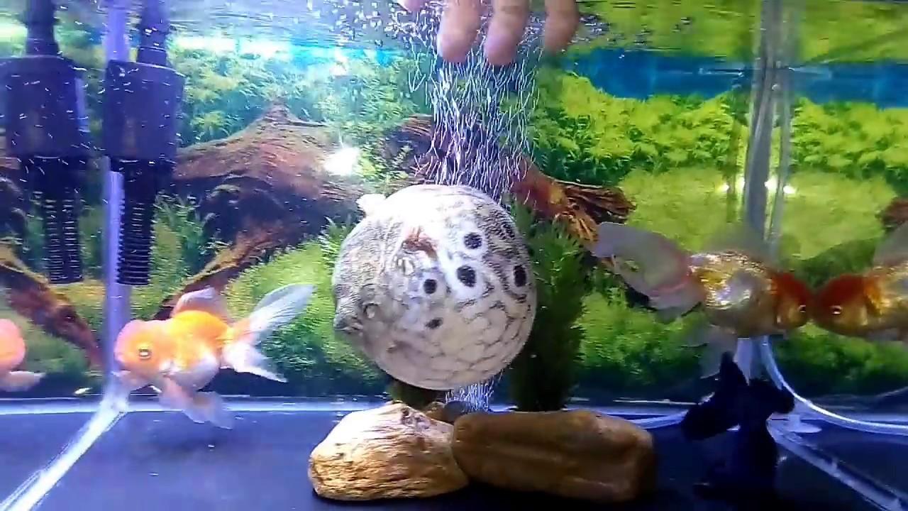 Ikan Buntal air tawar berubah menjadi balon | Puffer Fish - YouTube