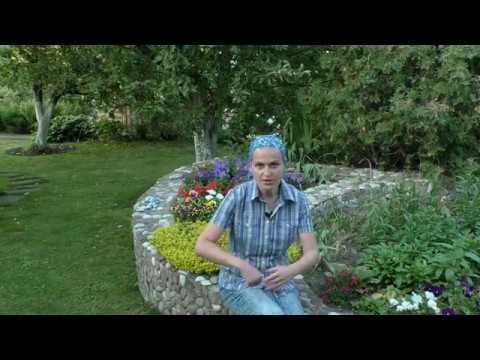 Как быть с отцветшими тюльпанами на клумбе