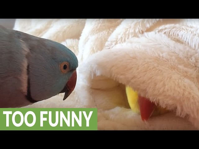 Lazy parrot refuses to get out of bed