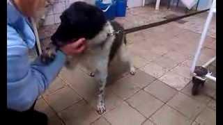 Лаки - пес с новообразованием на спинке носа!