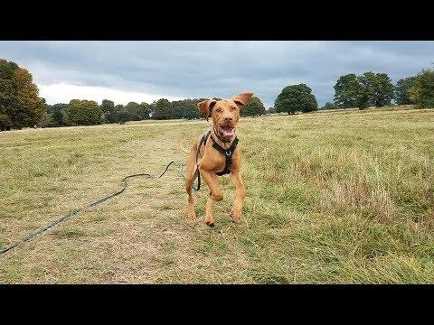 Bluey - 5 Month Old Hungarian Vizsla Puppy - 4 Weeks Residential Dog Training