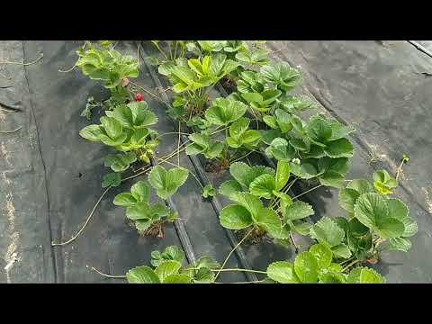 Подготовка кустов клубники ко второй волне плодоношения