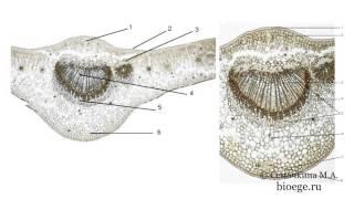 Биология в картинках: Строение листа (Вып. 36)