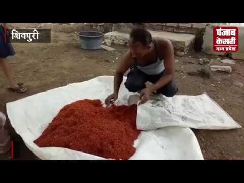किसान का कमाल : 3 बीघा जमीन में की 45 लाख की फसल की पैदावार    PUNJAB KESARI MP