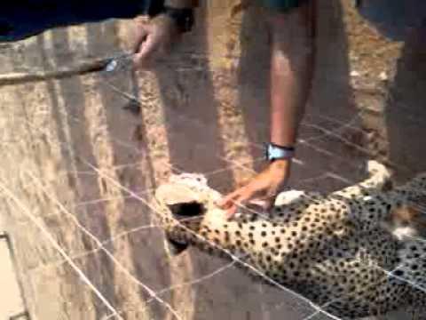 Djibouti Cheetah preserve Djibouti Africa