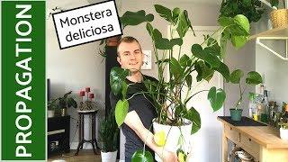How to Propagate Monstera deliciosa (Split-Leaf Philodendron)