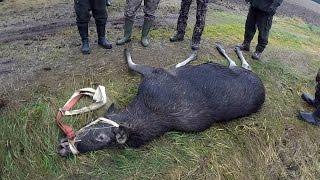 Охота #57 охота на лося, теленок