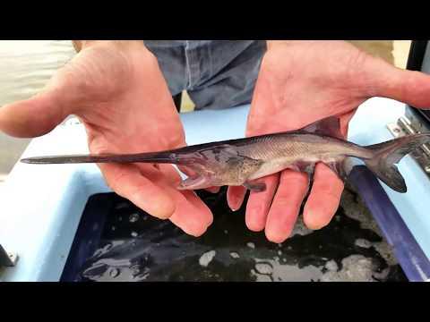 Paddlefish Stocking - NDGNF