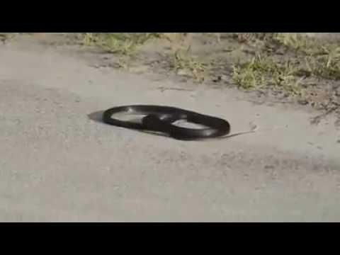 Snake dancing on D J MUSIC