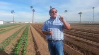 Lettuce crop in Yuma Arizona