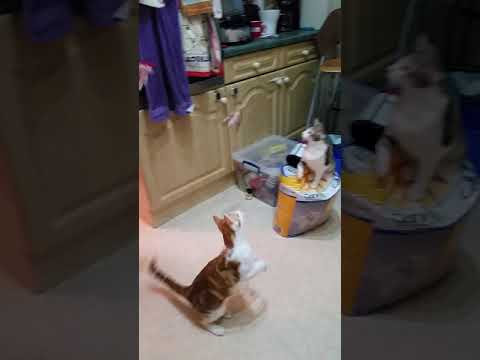 Cats jumping 1.5 metres in the air