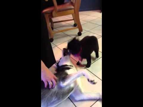 Husky puppy meets schipperke puppy