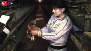Jaja podrożeją, bo kury mają mieszkać w unijnych klatkach