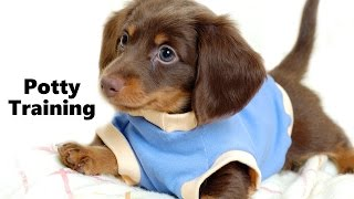 How To Potty Train A Dachshund Puppy - Dachshund House Training - Housebreaking Dachshund Puppies