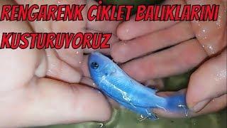 sarı,mavi prenses yavruları,ciklet balığı üretimi,akvaryum balık türleri çeşitleri