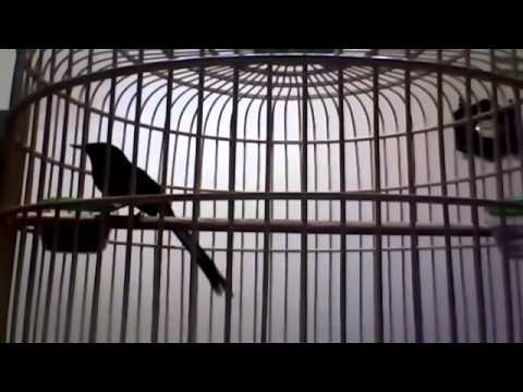 kicau berbagai macam isian burung mantap   youtube