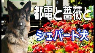 grandchild and German Shepherd dog ハスキー達と長く暮らし毎日の散歩...
