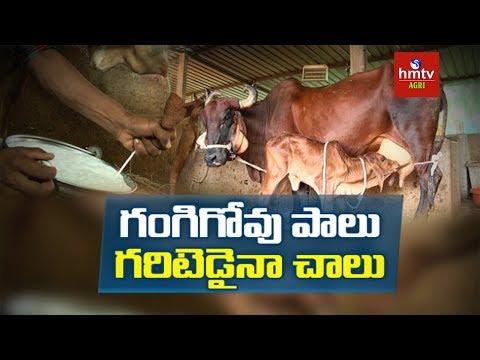 Desi Cow Cattle Farming | Desi Cow Milk | Success Story Of Young Farmer Ramana Reddy | hmtv Agri