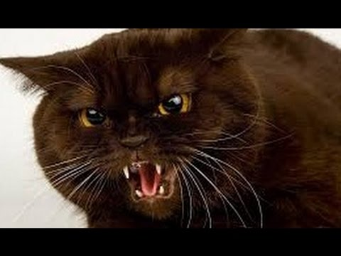 angry cat 2 funny - YouTube
