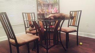 Один день из жизни сиамкого кота  Басё и сиамской кошки Келли  =^..^= СИАМСКИЕ КОШКИ