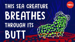This sea creature breathes through its butt - Cella Wright