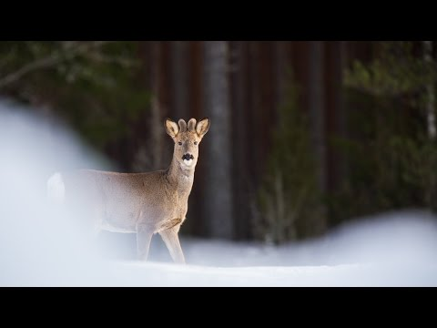 A trip to Sweden for wildlife [Full HD]