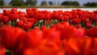 Ян Райбург-Алые тюльпаны(Ian Raiburg).wmv