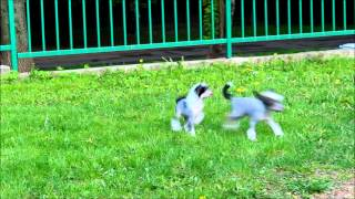 Игры щенков Китайской Хохлатой Собаки
