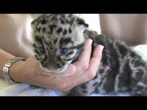 Thumbnail for Cat Video Newborn Clouded Leopard Cubs - 1 month old.