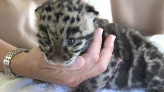 Newborn Clouded Leopard Cubs - 1 month old.