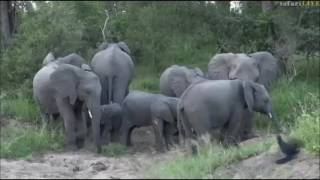 Safari Live  : A must see Elephant sighting today on drive with Jamie May 09, 2017