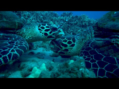 Hawaiian Hawksbill Turtles: One Of The World's Most Endangered Sea Turtle Populations