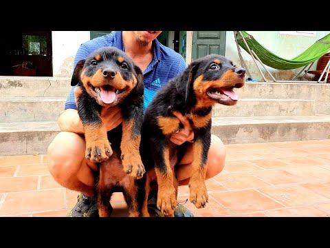 Bán chó rottweiler con: Đàn chó con nhà vô địch Marvin Gervi