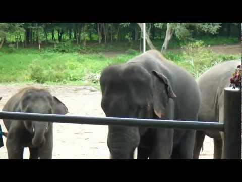 Asian Elephants dancing at Maetang Elephant Park