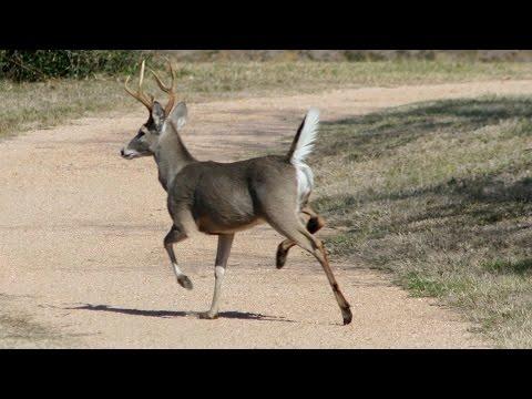 whitetail deer bleat