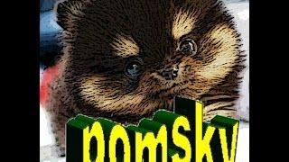 Pomsky. alegre e inteligente nueva raza de perro