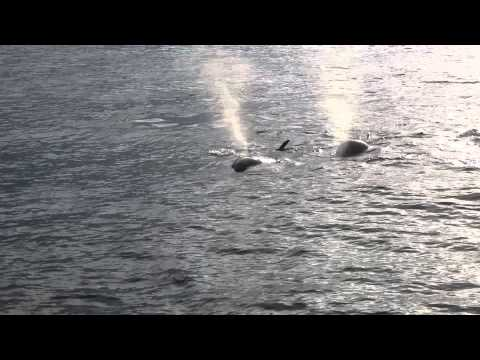 Killer Whales (Orcas) Chase A Seal Under Our Whale Watching Boat (Long Beach, CA)