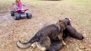 German shepherd protects 5 year old girl from bad guy.