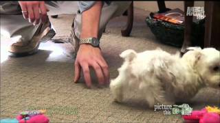 Dogs101 Maltese Full