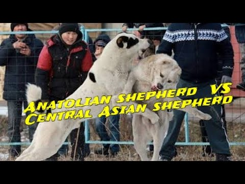 Anatolian shepherd vs Central asian shepherd dog comparisons by Dog tubed.