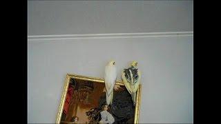 Попугай корелла, самец. Поведение - как крылья сердечком, как поют, как стучит клювом, как прыгает.(Поведение самцов попугаев. Попугай корелла, самец. Поведение - как крылья сердечком, как поют, как стучат,..., 2014-11-06T10:38:48.000Z)